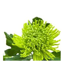 spincrysant groen