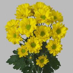 crysant geel