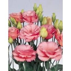 lisiantus rose