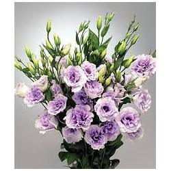 lisiantus lila