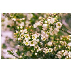 waxflower rose