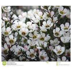 waxflowers wit